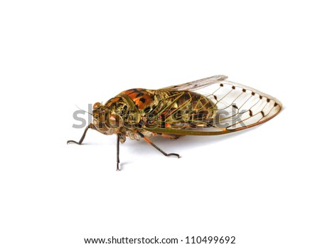 cicada insect isolated on white background - stock photo