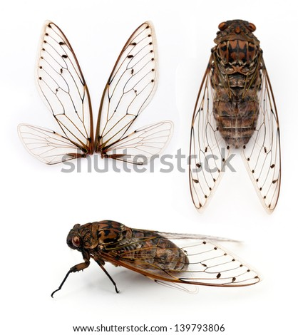 cicada insect  isolated on white background. - stock photo