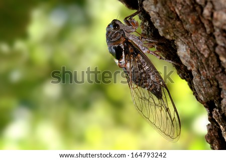 cicada on a trunk of pine - stock photo