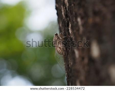Cicada on the tree - Close up - stock photo
