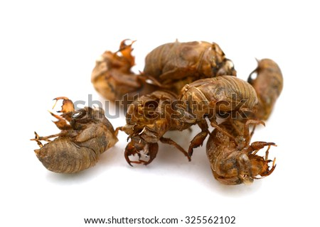 cicada slough isolated on white background