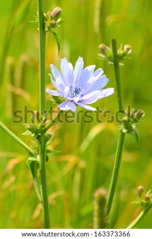 Cichorium flower on meadow, close up view - stock photo