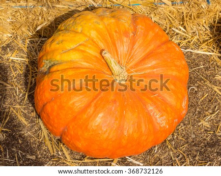 Cinderella pumpkins have a vivid, red-orange, hard exterior and a somewhat flattened shape with deep, characteristic lobes.