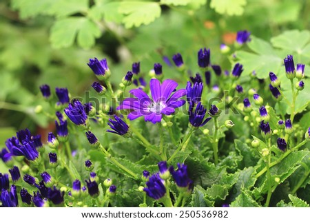 Cineraria flower and buds,beautiful blue with purple cineraria flower and buds blooming in the garden  - stock photo