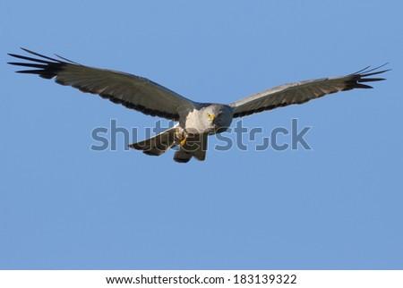 Cinereus Harrier (Circus cinereus) in flight with dead prey (a bird) looking at camera. Patagonia, Argentina, South America - stock photo