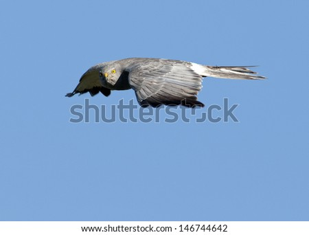 Cinereus Harrier (Circus cinereus) in flight with prey looking at camera. Patagonia, Argentina, South America - stock photo