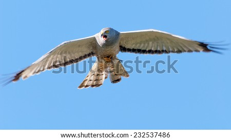 Cinereus Harrier (Circus cinereus) screaming in flight with a dead bird caught between its claws.  Patagonia, Argentina, South America. - stock photo