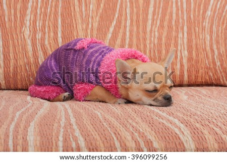 Cinnamon Chihuahua puppy dressed with pullover sleeping on sofa, 4 months old female.  - stock photo