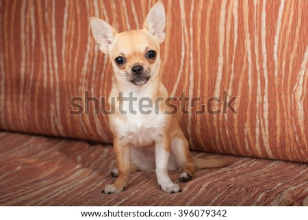 Cinnamon Chihuahua puppy sitting on sofa, 4 months old female.