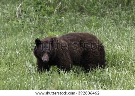 Cinnamon-Colored Black Bear in Grass - stock photo