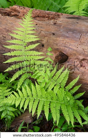 Cinnamon Ferns and Log with fresh rain drops