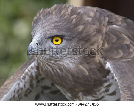Circaetus gallicus - stock photo