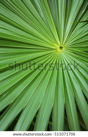 Circular radiating leaves of a palm, Caribbean.