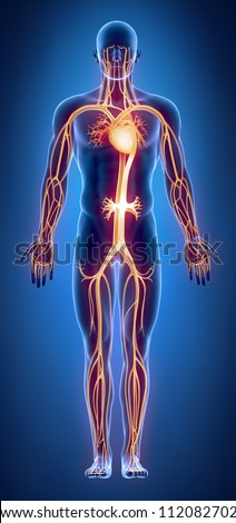 Circulatory system anatomy - stock photo
