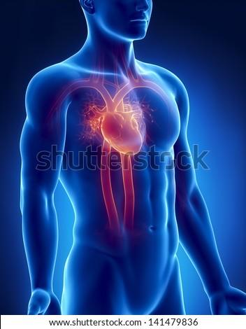 Circulatory system male anatomy anterior x-ray view - stock photo