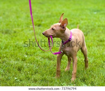 Cirneco Dell'Etna, Sicilian Hound puppy playing with a pink leash on a green lawn