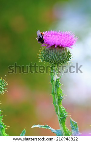 Cirsium blooming head with a bumblebee on it gathering nectar - stock photo