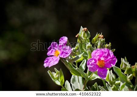 Cistus albidus, the purple european rockrose. A very beautiful and common bush of the mediterranean countries. - stock photo