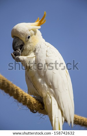 Citron Crested Cockatoo Perched on a Rope Cleaning It's Nails