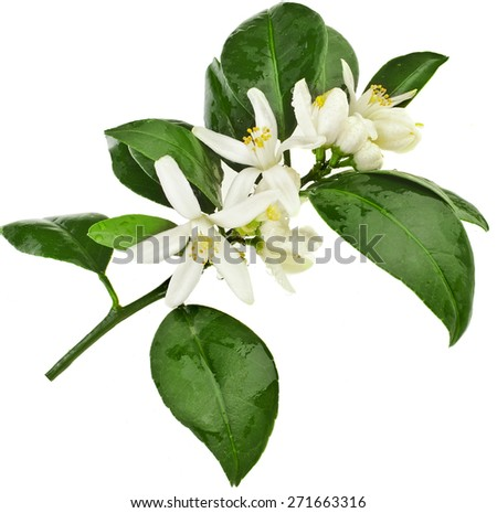 citrus blooming branch close up isolated on white - stock photo