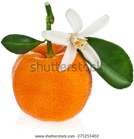 Citrus Calamondin, one fruit  close up isolated on white background - stock photo