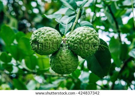 Citrus fruit  bergamot - stock photo