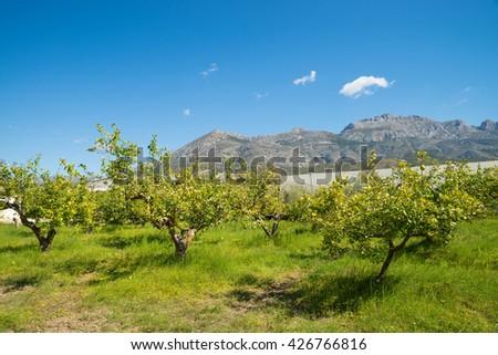 Citrus fruit plantation on sunny Costa Blanca, Spain - stock photo
