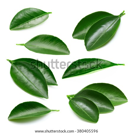 Citrus leaves collection isolated