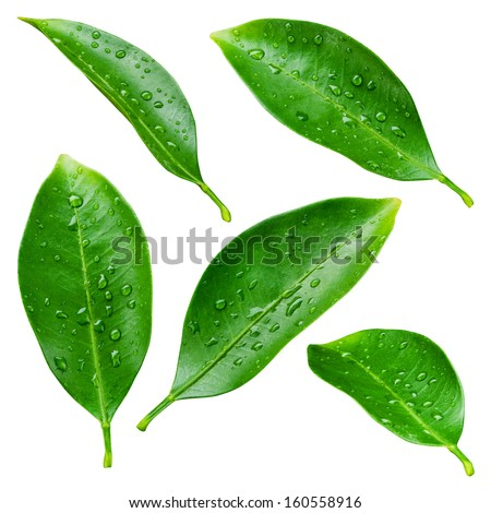 Citrus leaves with drops isolated on a white background - stock photo
