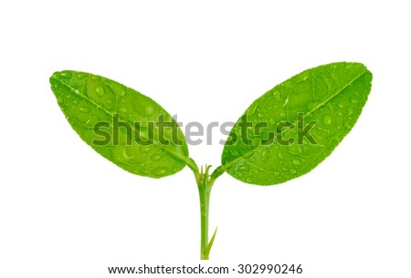 Citrus lemons  leaves with drops isolated on a white background with drops - stock photo