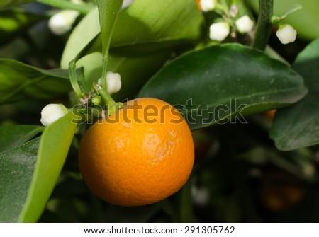 citrus mitis (pot plant) - stock photo