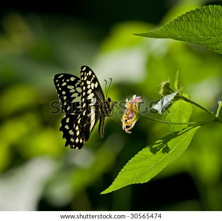 Citrus Swallowtail in The Gambia - stock photo