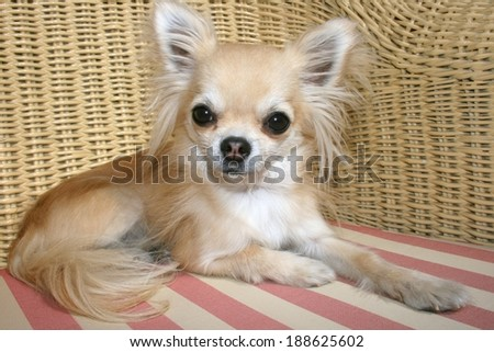 City toy dog's lifestyle, longhair chihuahua relaxing on a wicker chair with pillow on a sunny day on a terrace of a restaurant - stock photo
