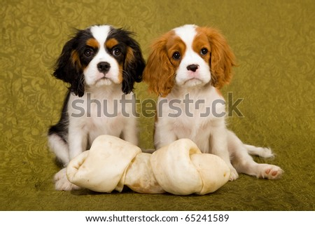 CKC puppies with huge large bone on green background - stock photo