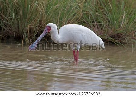 ClAfrican Spoonbill wading in shallow water; Platalea alba