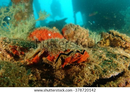 Clam in a shipwreck underwater - stock photo