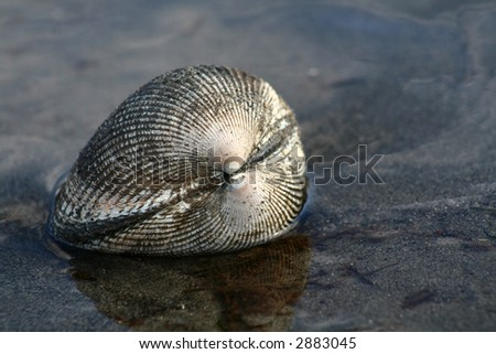 Clam in Puget Sound, Washington - stock photo