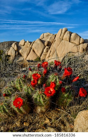 Claret-cup Cactus Blooming - stock photo