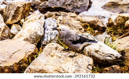 Clark's Nutcracker in the High Alpine in the Rocky Mountains at the Teahouse near the Plain of Six Glaciers at Lake Louise - stock photo