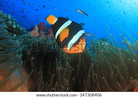 Clarke's Anemonefish (Clownfish nemo fish) - stock photo