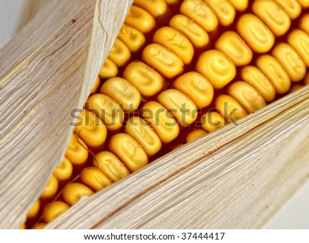 classic corncob vegetable, detail on white background - stock photo