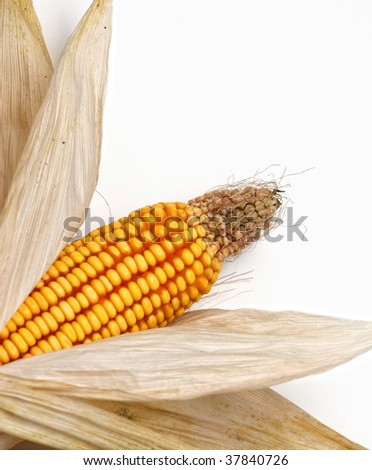 classic corncob vegetable, detail on white background