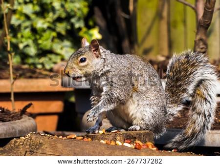 Classic squirrel pose - stock photo