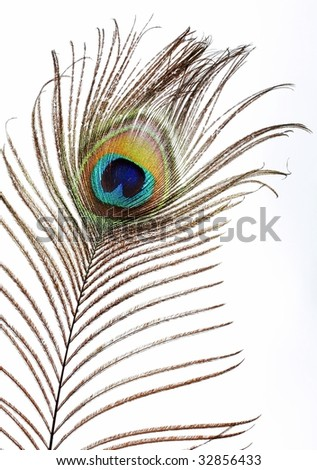 Classical feather of a peacock. The peacock eye