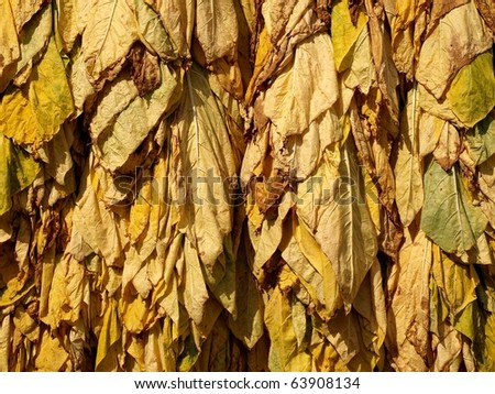 Classical way of drying tobacco - stock photo