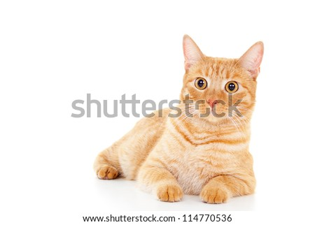 Classy red cat lying on the floor - stock photo