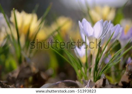 clasters of first spring crocuses - stock photo