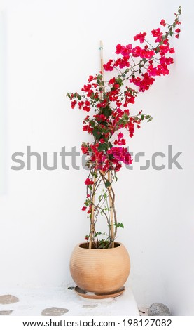 Clay pot with beautiful pink flowering bougainvillea. Greece. Mykonos. - stock photo