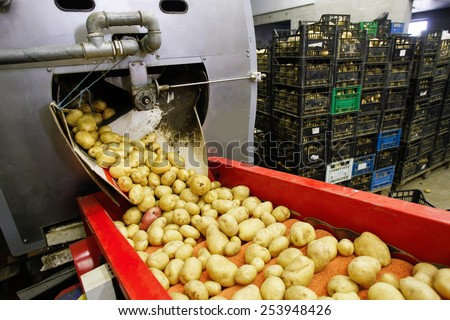 Cleaned potatoes on a conveyor belt, prepared for packing - stock photo