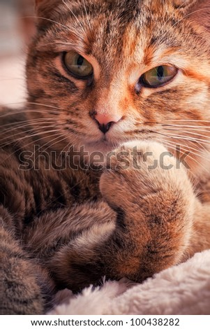 Cleaning tabby cat portrait - stock photo